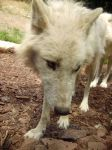 wolf 05 by Pagan-Stock