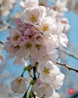 Cherry Blossom Bouquet by MeKamalaPhotography