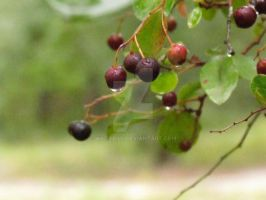 Huckle Berry Dew by Wileybill