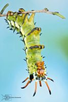 Hickory horned devil - Citheronia regalis by ColinHuttonPhoto