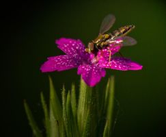 Hover Fly on a Deptford Pink by boron