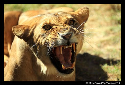 Angry Lioness by TVD-Photography