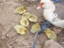 Ducklings by astateofconfusion