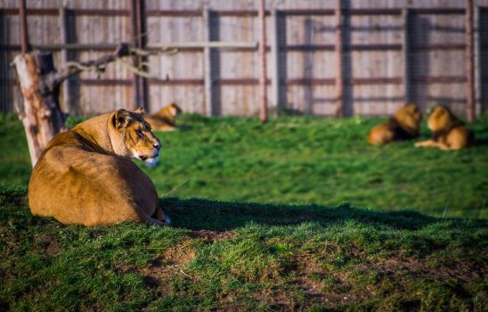 Yorkshire Wildlife Park - Lions by Telutamakaria
