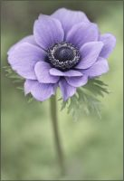 Anemone by Audhild