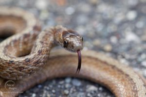 Indiana Brown Snake by JohnSlaughter