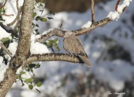 COLLARED DOVE IN SNOW by GeaAusten