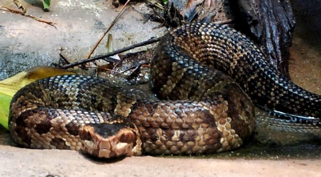 Water Moccasin by MarinoOfFive