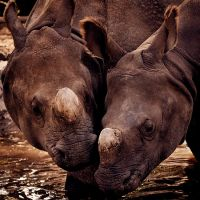 Rhino Love by DeniseSoden