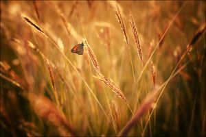 wheat 14 by 785785