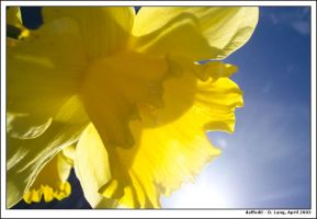 Daffodil from below by anotherview