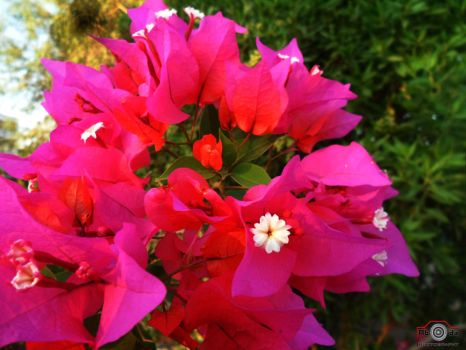Pink Flowers Coll by abadaGD