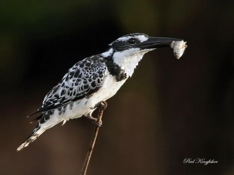 Pied Kingfisher with breakfast by Jamie-MacArthur