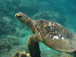 The Green Sea Turtle by X5-442
