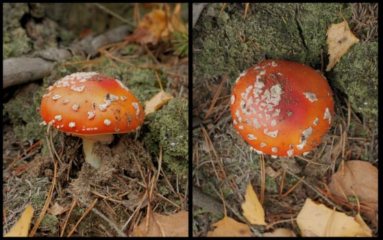 Mushroom Reference - D676 by AGF81