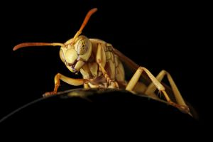 Wasp by knold