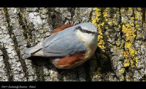 Eurasian Nuthatch by RichardConstantinoff