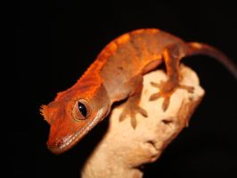 Jr. the Crested Gecko by SilverToraGe
