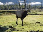 Elk 07 by Eltear-Stock