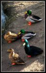 Ducks from above by Miarath