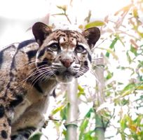 Clouded Leopard by BanditsDad