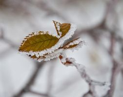 Snow on the leaf by Bull04