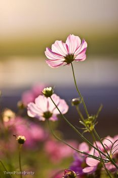 Cosmos at Sunset time by WindyLife