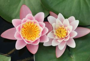 Water lily Stock 24 by Malleni-Stock