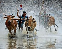 Cow  race - Viet Nam by hoangnamphoto