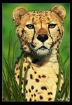 Cheetah portrait by Geirahod