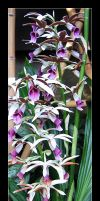 Orchid-3 by Bagheera-8