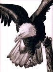 bald eagle by burberry