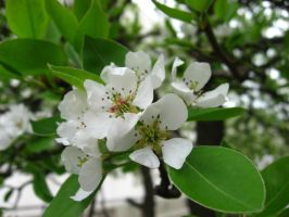 Pear Blossoms by BenaeQuee