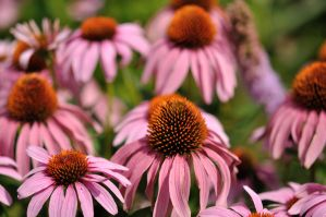 Echinacea by TWOphotography