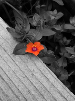 Scarlet Pimpernel(Black and White) by ethan-gomez13