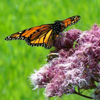 Monarch Butterfly 5 by Penny-Stock