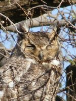 Horned Owl by grlgeorge