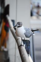 Seagull by the bay by massic94