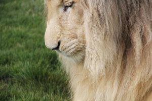 Beautiful white lion by deliquescing
