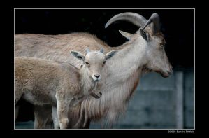 Barbary Sheep by grugster