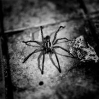 spider by selimselimoglu