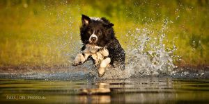 Border Collie by PASSiON--PHOTO