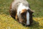 guinea pig by Ylliny