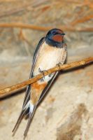 Barn swallow by Jorapache