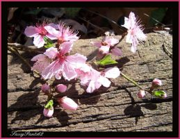 Peach Blosssoms2 by SassyPants61762
