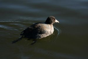 American Coot by olearysfunphotos