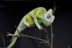 Chameleon by brighthoriz0ns