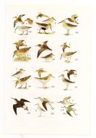 Antique birds print 8 by OMEGA86