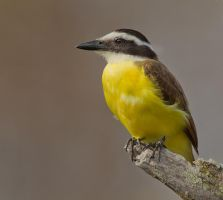 Mellow Yellow - Great Kiskadee by Jamie-MacArthur