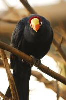 Violet Turaco by Shadow-and-Flame-86